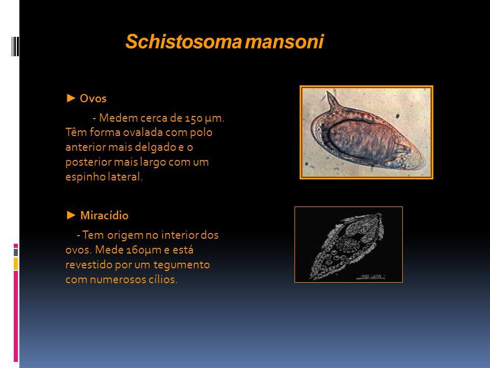 Schistosoma mansoni ► Ovos