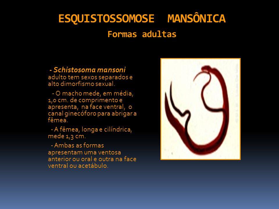 ESQUISTOSSOMOSE MANSÔNICA Formas adultas