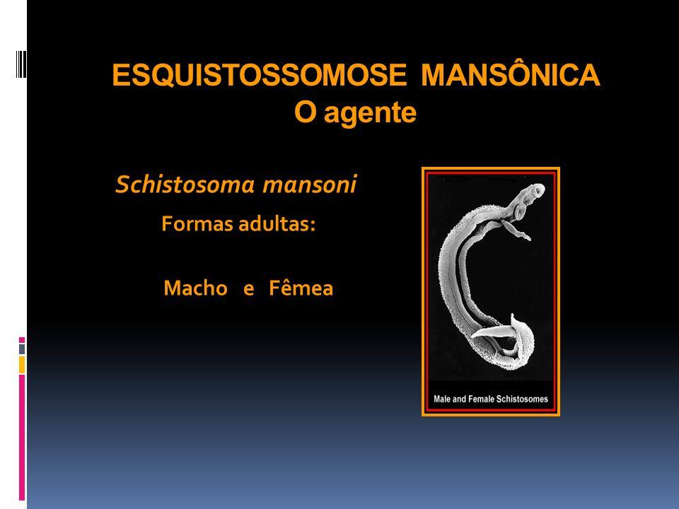 ESQUISTOSSOMOSE MANSÔNICA O agente