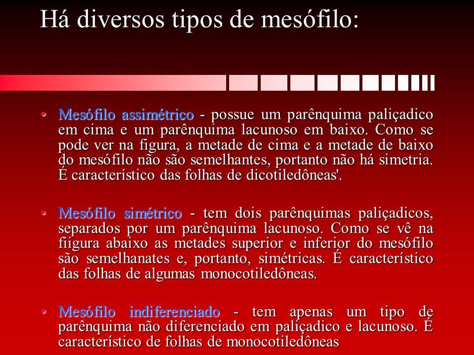 Há diversos tipos de mesófilo: