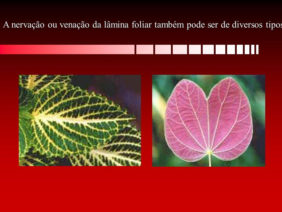 A nervação ou venação da lâmina foliar também pode ser de diversos tipos: