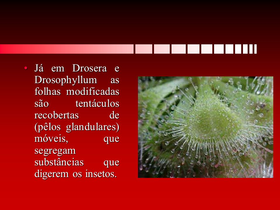 Já em Drosera e Drosophyllum as folhas modificadas são tentáculos recobertas de (pêlos glandulares) móveis, que segregam substâncias que digerem os insetos.