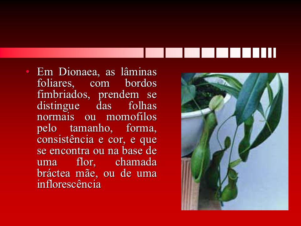 Em Dionaea, as lâminas foliares, com bordos fimbriados, prendem se distingue das folhas normais ou momofilos pelo tamanho, forma, consistência e cor, e que se encontra ou na base de uma flor, chamada bráctea mãe, ou de uma inflorescência