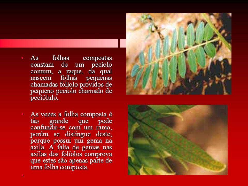 As folhas compostas constam de um pecíolo comum, a raque, da qual nascem folhas pequenas chamadas folíolo providos de pequeno pecíolo chamado de peciólulo.