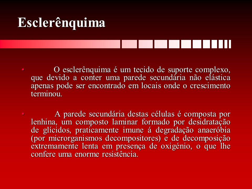 Esclerênquima