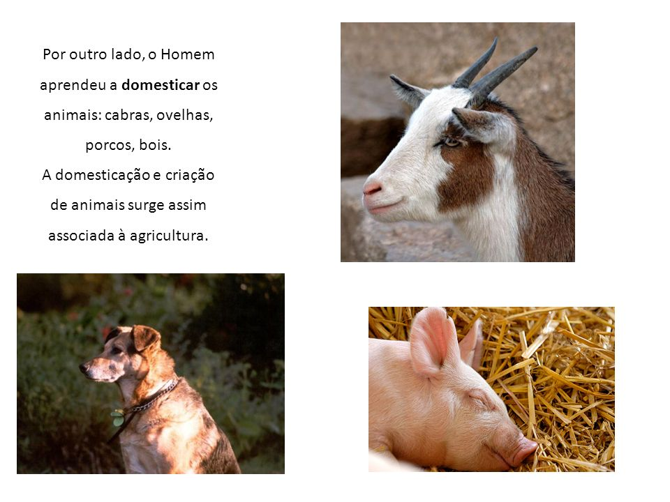 Por outro lado, o Homem aprendeu a domesticar os animais: cabras, ovelhas, porcos, bois.
