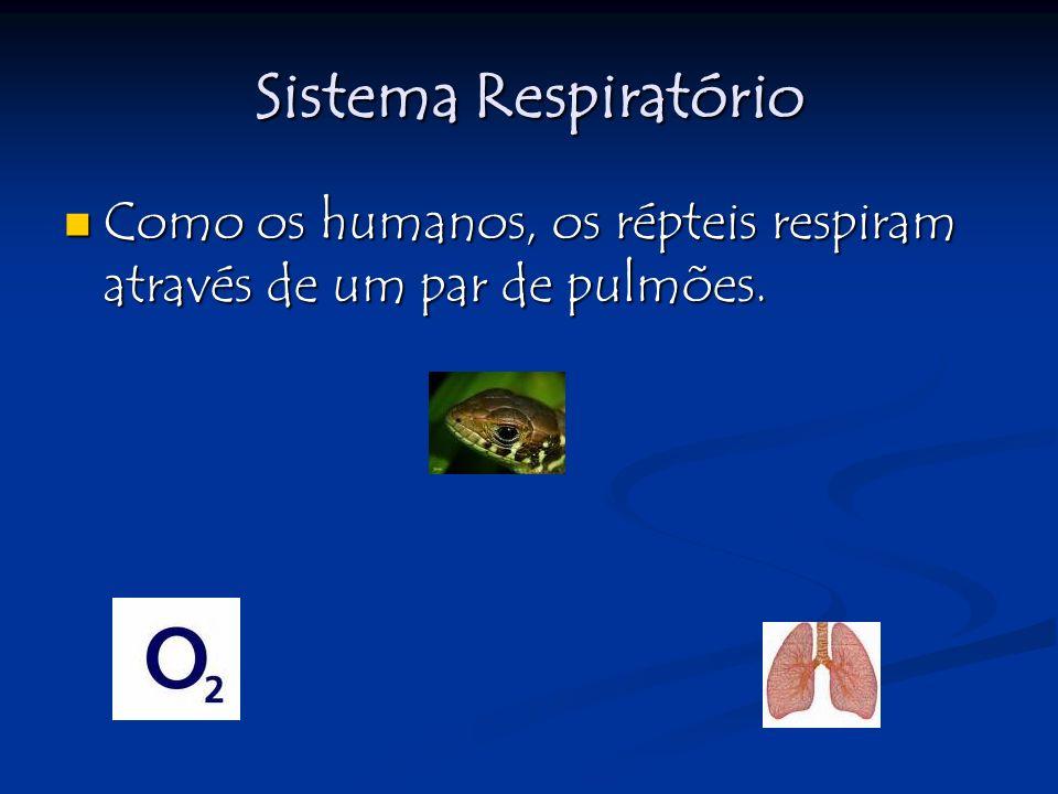 Sistema Respiratório Como os humanos, os répteis respiram através de um par de pulmões.