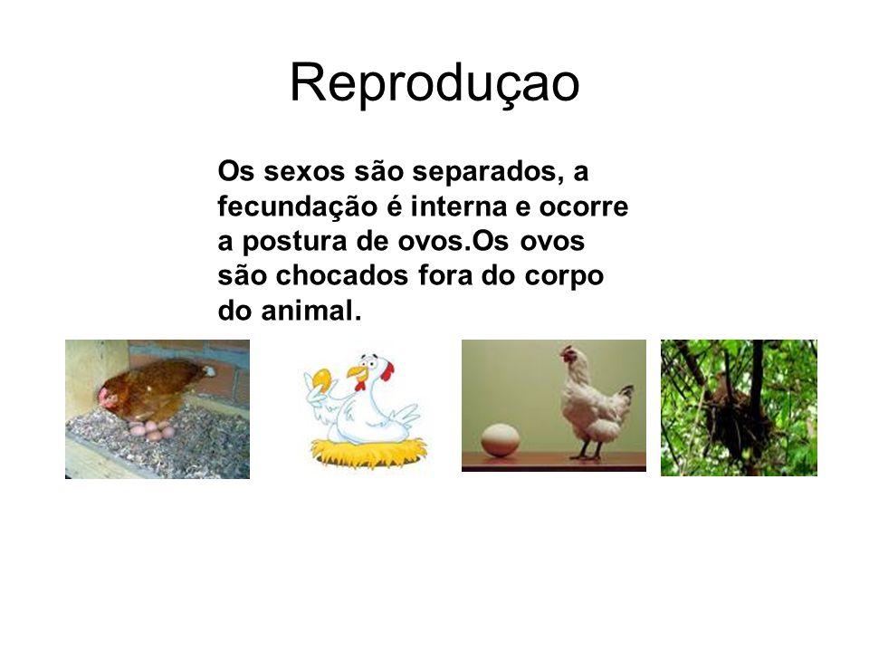 Reproduçao Os sexos são separados, a fecundação é interna e ocorre a postura de ovos.Os ovos são chocados fora do corpo do animal.