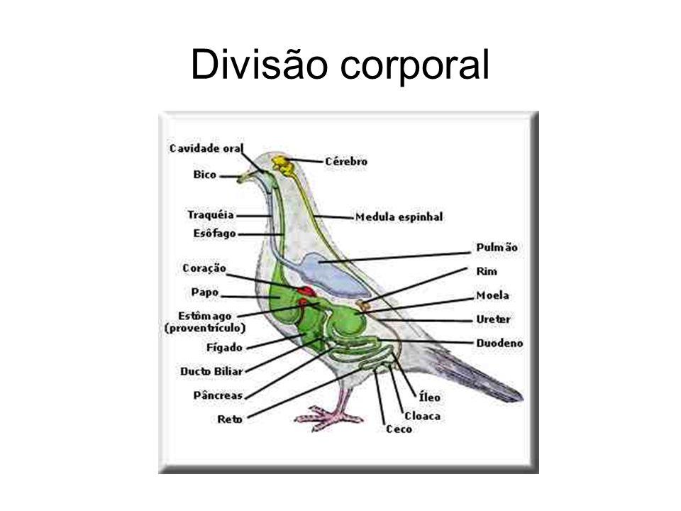 Divisão corporal