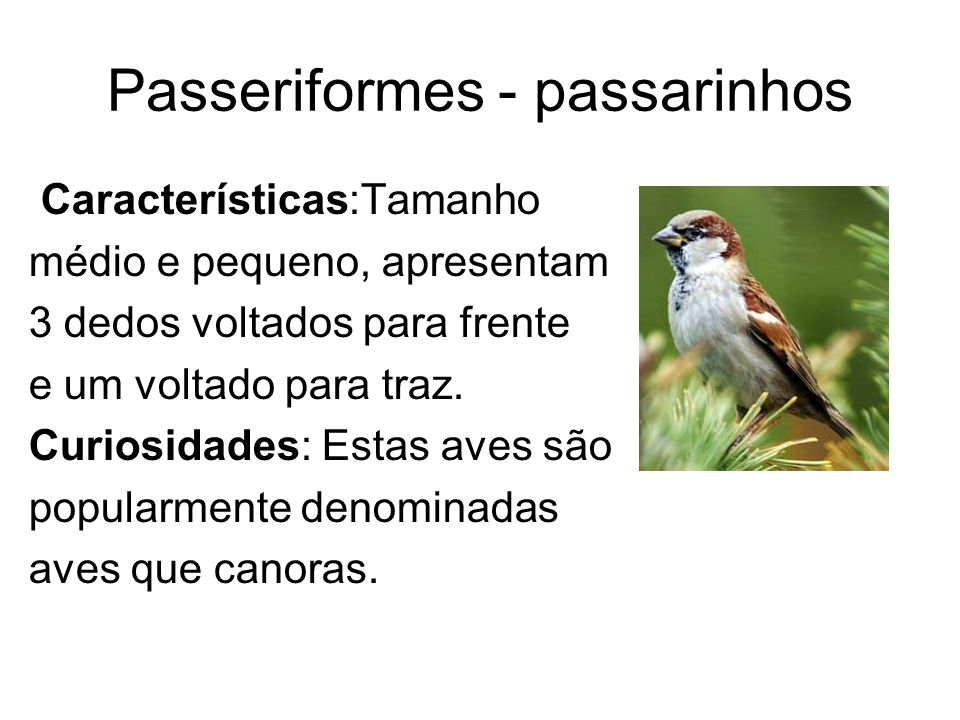 Passeriformes - passarinhos