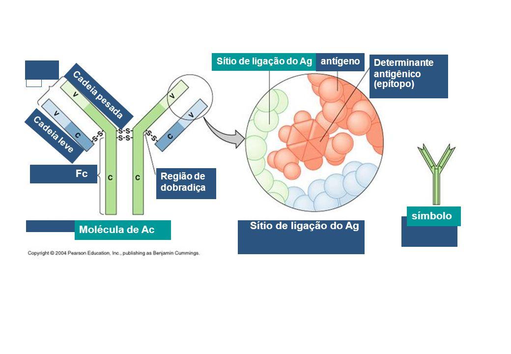 Fab Fc símbolo Sítio de ligação do Ag Molécula de Ac antígeno