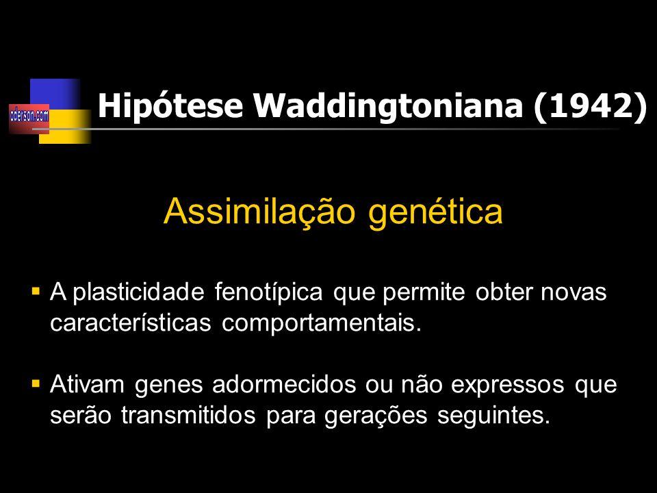 Assimilação genética Hipótese Waddingtoniana (1942)