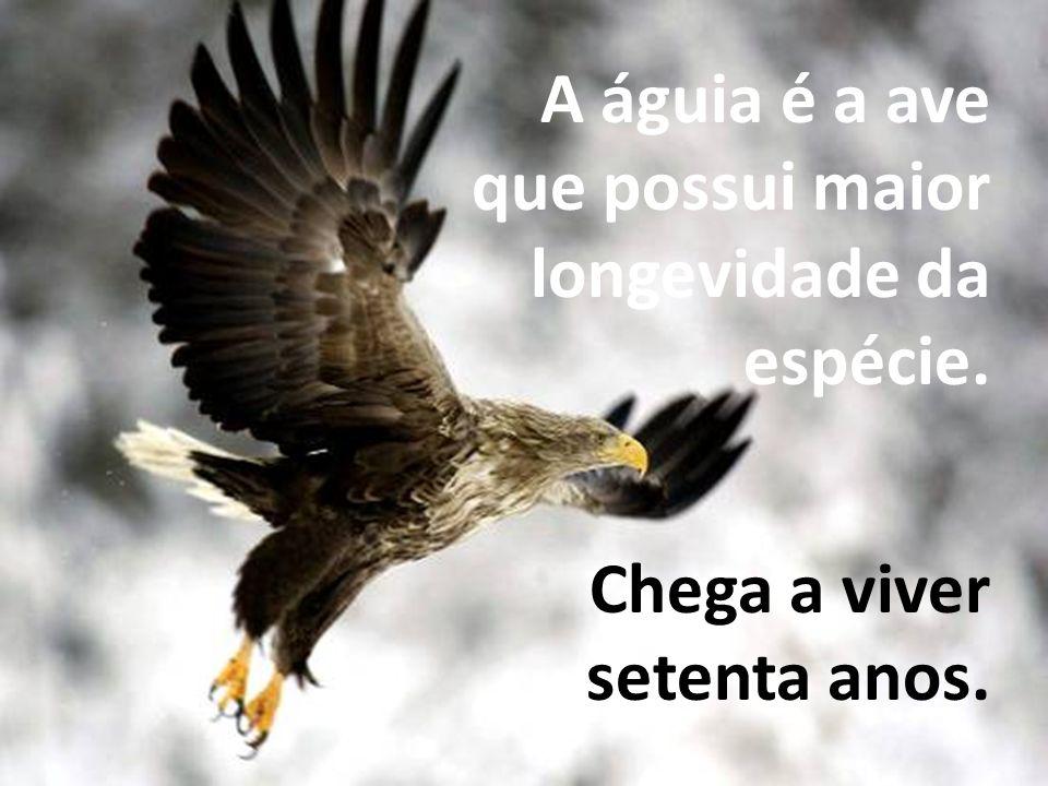 A águia é a ave que possui maior longevidade da espécie.