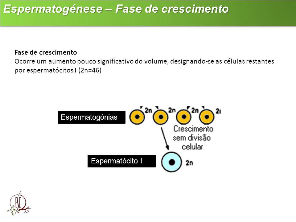 Espermatogénese – Fase de crescimento