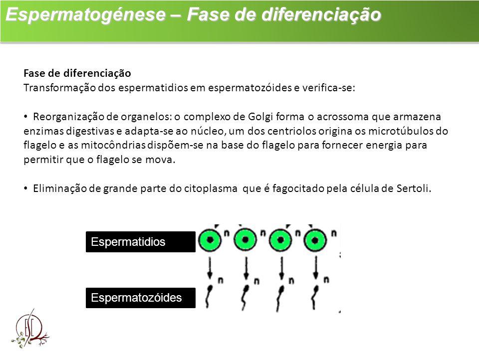 Espermatogénese – Fase de diferenciação
