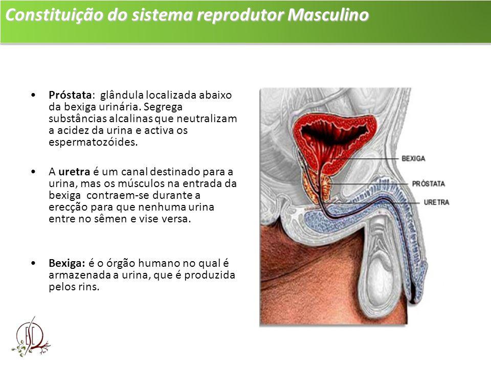 Constituição do sistema reprodutor Masculino