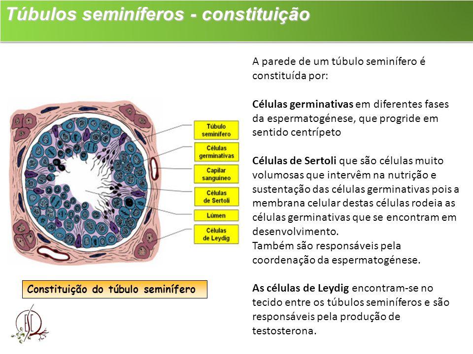 Túbulos seminíferos - constituição