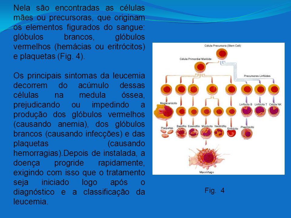 Nela são encontradas as células mães ou precursoras, que originam os elementos figurados do sangue: glóbulos brancos, glóbulos vermelhos (hemácias ou eritrócitos) e plaquetas (Fig. 4).
