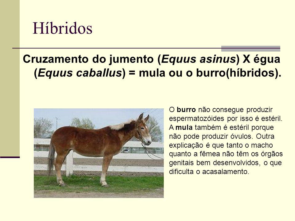 HíbridosCruzamento do jumento (Equus asinus) X égua (Equus caballus) = mula ou o burro(híbridos).