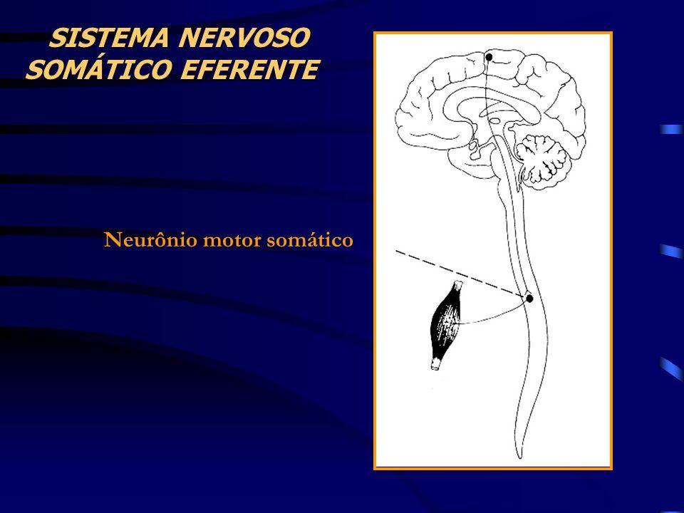 SISTEMA NERVOSO SOMÁTICO EFERENTE Neurônio motor somático