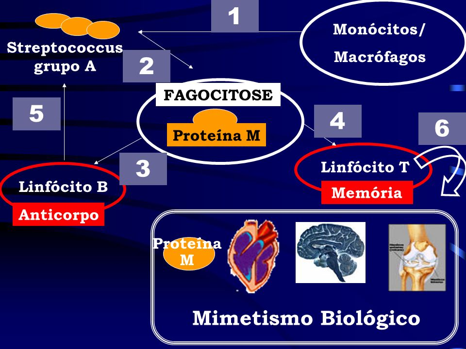 1 2 5 4 6 3 Mimetismo Biológico Monócitos/ Macrófagos