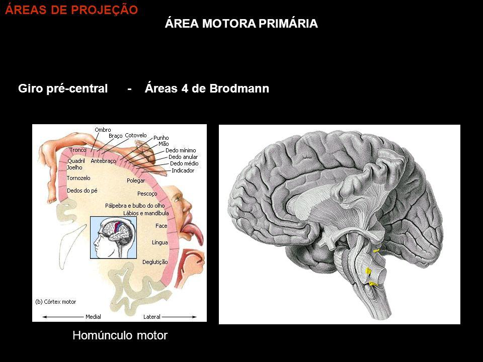 ÁREAS DE PROJEÇÃO ÁREA MOTORA PRIMÁRIA Giro pré-central - Áreas 4 de Brodmann Homúnculo motor