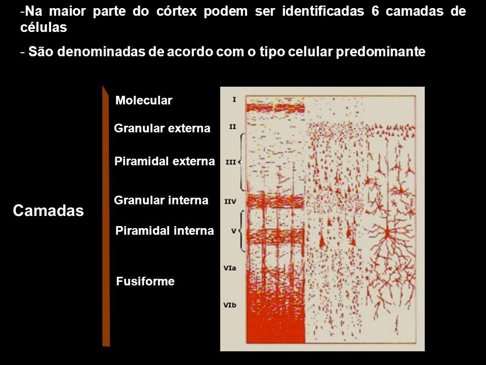 Na maior parte do córtex podem ser identificadas 6 camadas de células