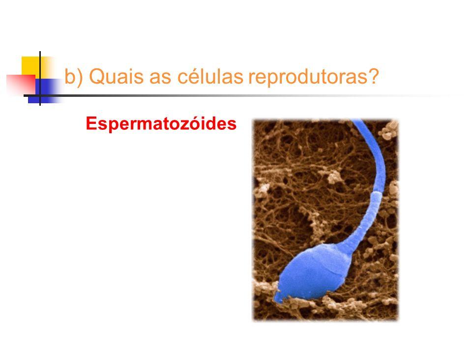 b) Quais as células reprodutoras