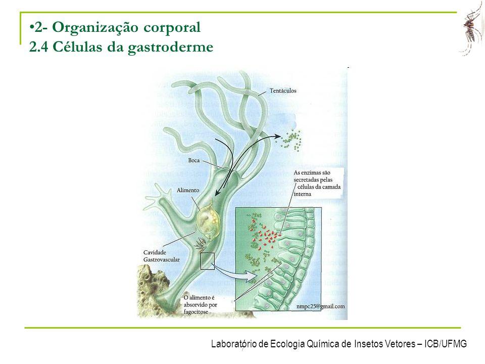 2- Organização corporal 2.4 Células da gastroderme