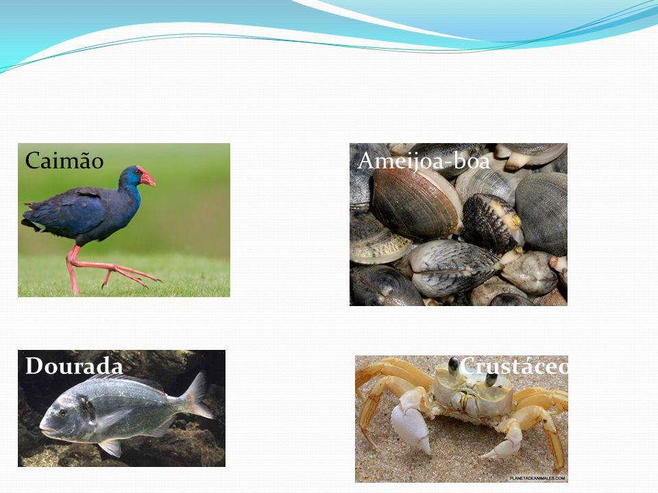 Caimão Ameijoa-boa Dourada Crustáceo.