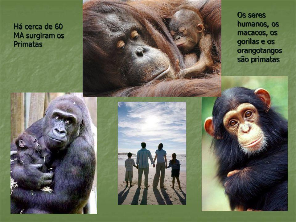 Os seres humanos, os macacos, os gorilas e os orangotangos são primatas