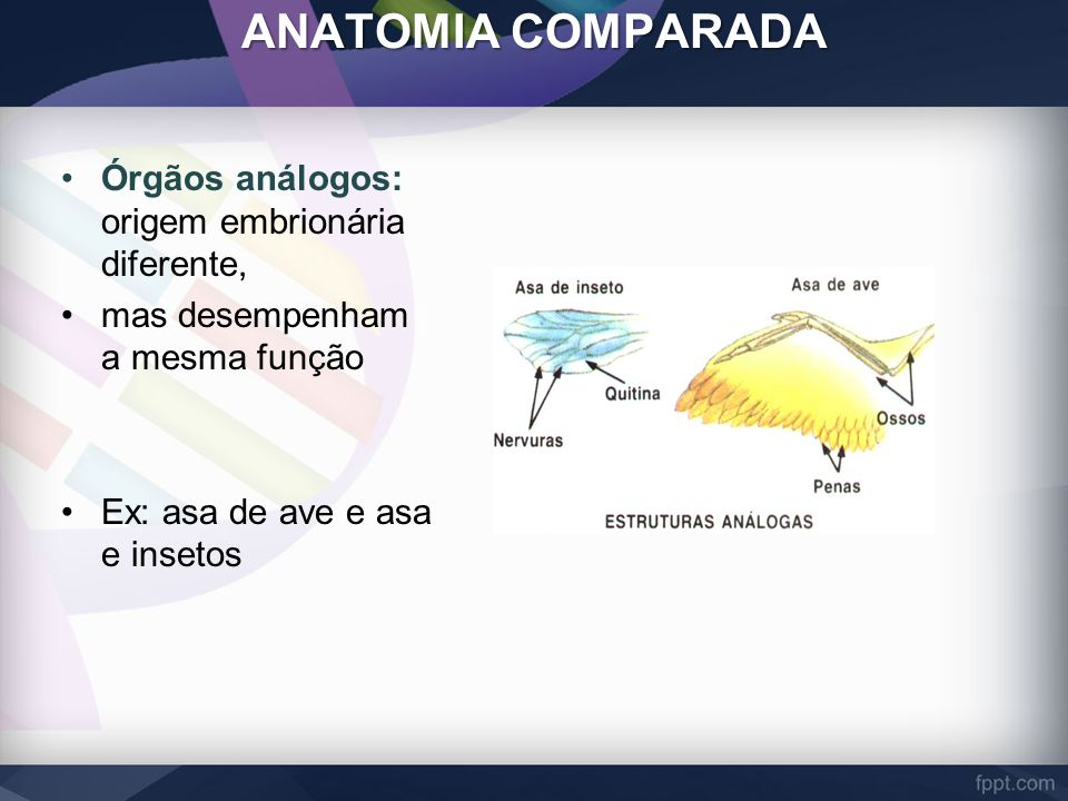 ANATOMIA COMPARADA Órgãos análogos: origem embrionária diferente,