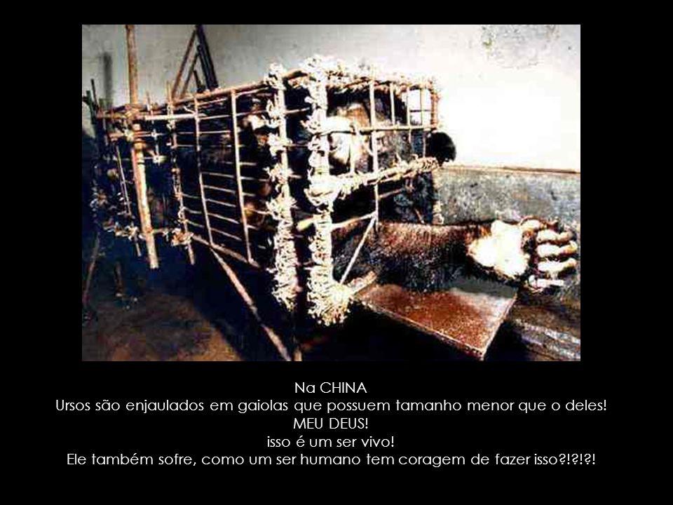 Ursos são enjaulados em gaiolas que possuem tamanho menor que o deles!