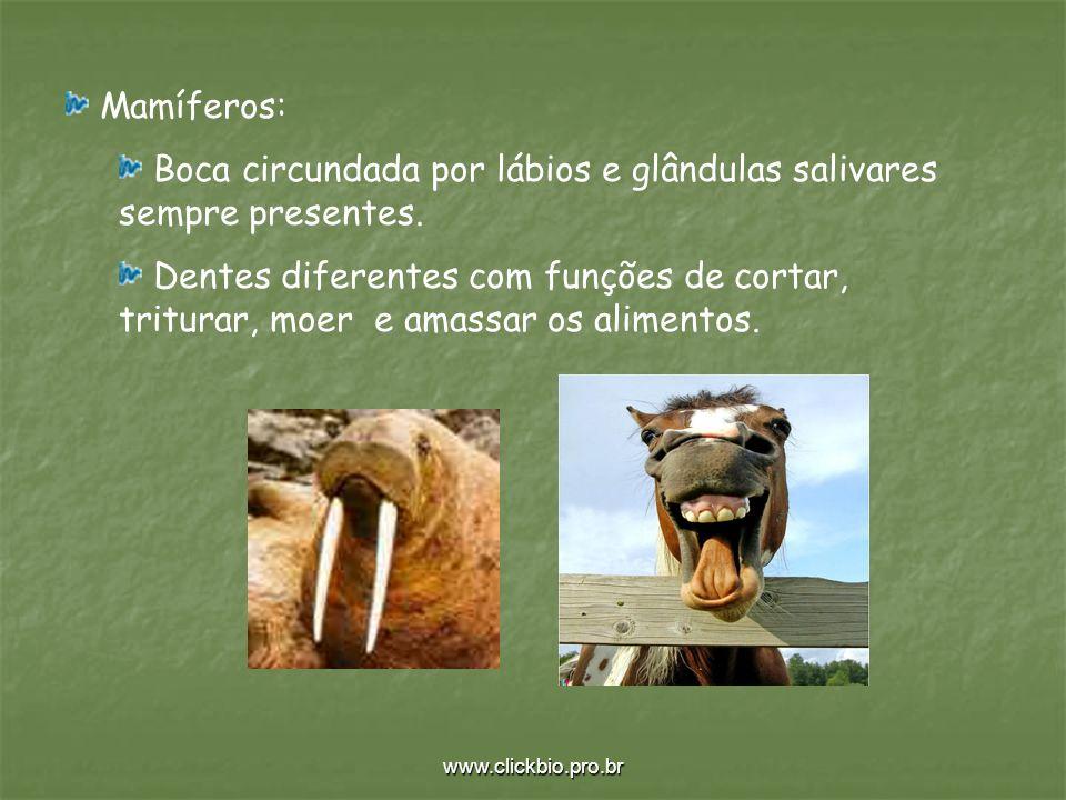 Boca circundada por lábios e glândulas salivares sempre presentes.