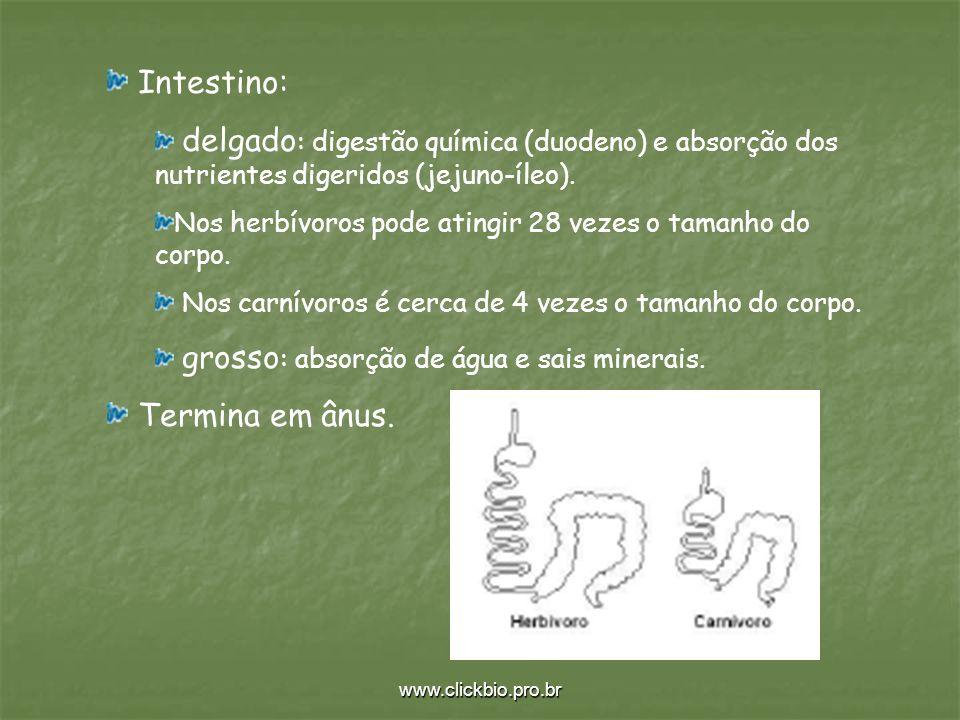 Intestino: Termina em ânus.