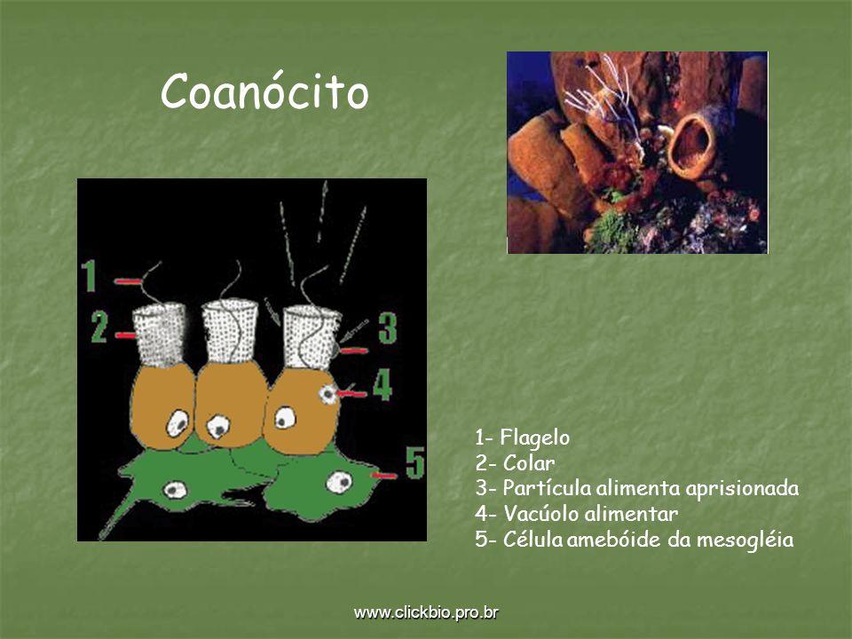 Coanócito 1- Flagelo 2- Colar 3- Partícula alimenta aprisionada 4- Vacúolo alimentar 5- Célula amebóide da mesogléia.