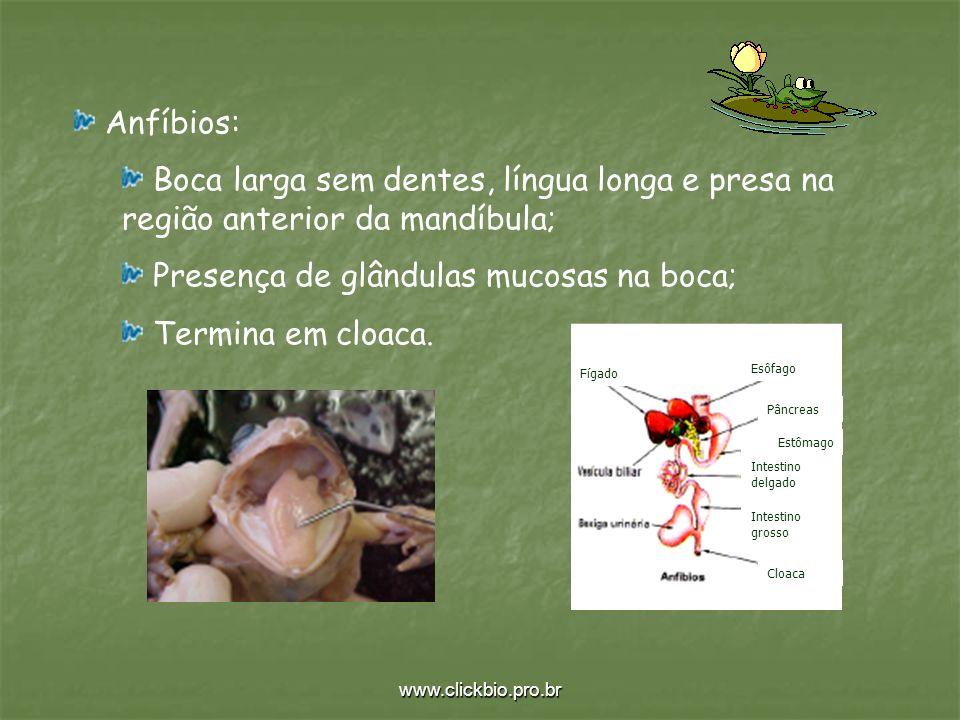 Presença de glândulas mucosas na boca; Termina em cloaca.