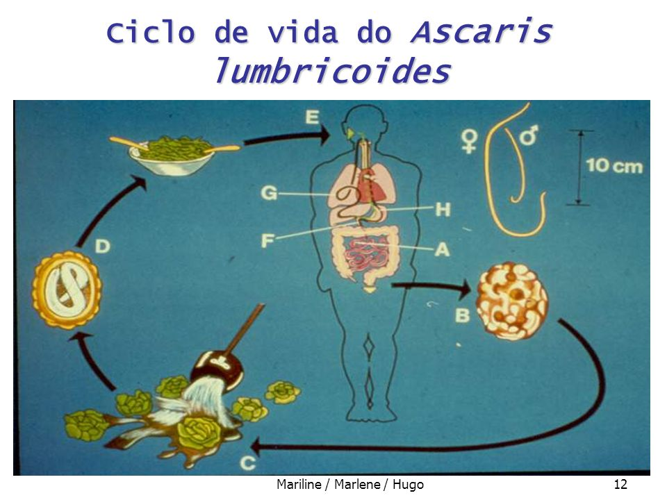 Ciclo de vida do Ascaris lumbricoides