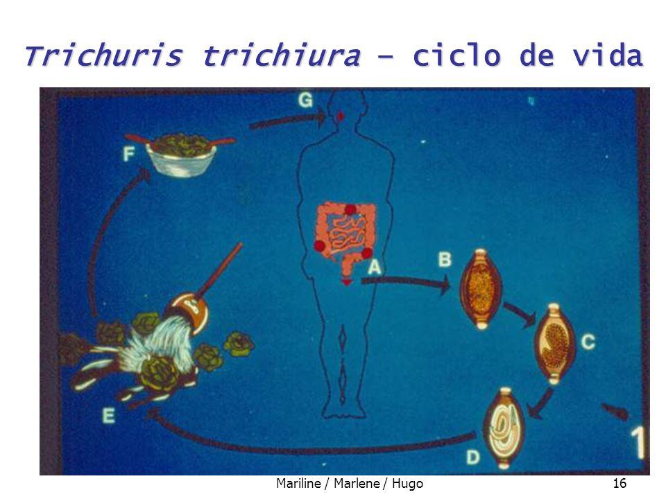 Trichuris trichiura – ciclo de vida