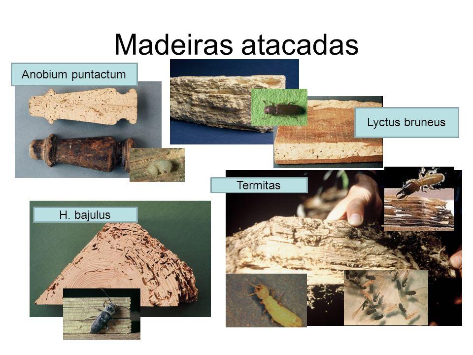 Madeiras atacadas Anobium puntactum Lyctus bruneus Termitas H. bajulus