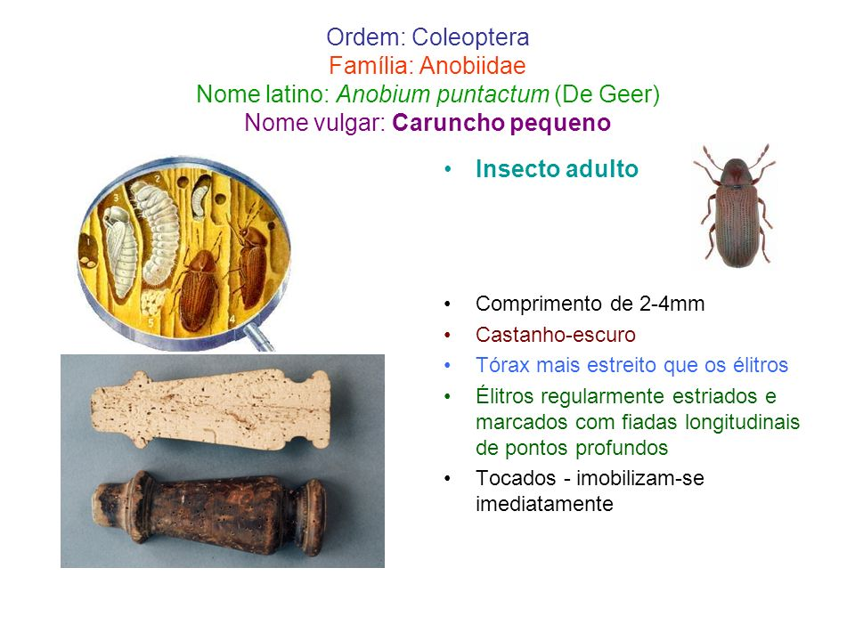 Ordem: Coleoptera Família: Anobiidae Nome latino: Anobium puntactum (De Geer) Nome vulgar: Caruncho pequeno