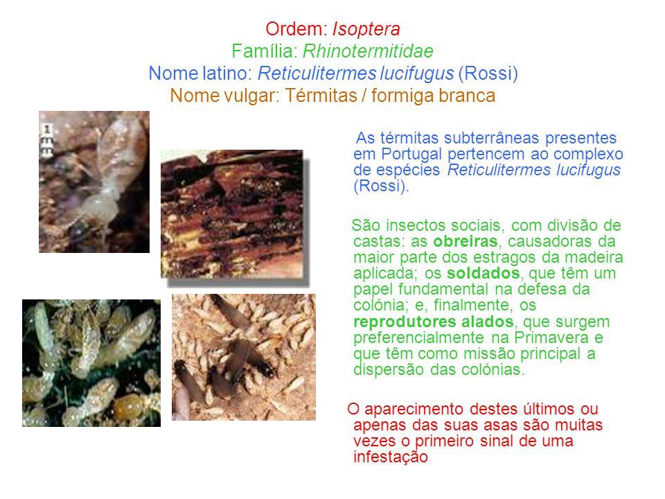 Ordem: Isoptera Família: Rhinotermitidae Nome latino: Reticulitermes lucifugus (Rossi) Nome vulgar: Térmitas / formiga branca