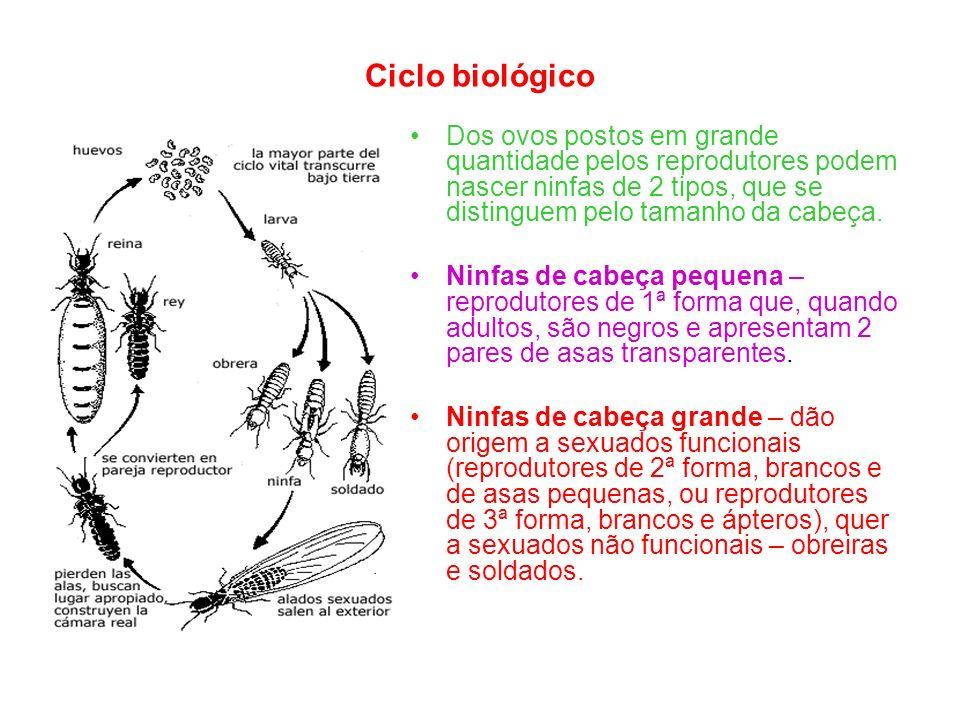 Ciclo biológico Dos ovos postos em grande quantidade pelos reprodutores podem nascer ninfas de 2 tipos, que se distinguem pelo tamanho da cabeça.