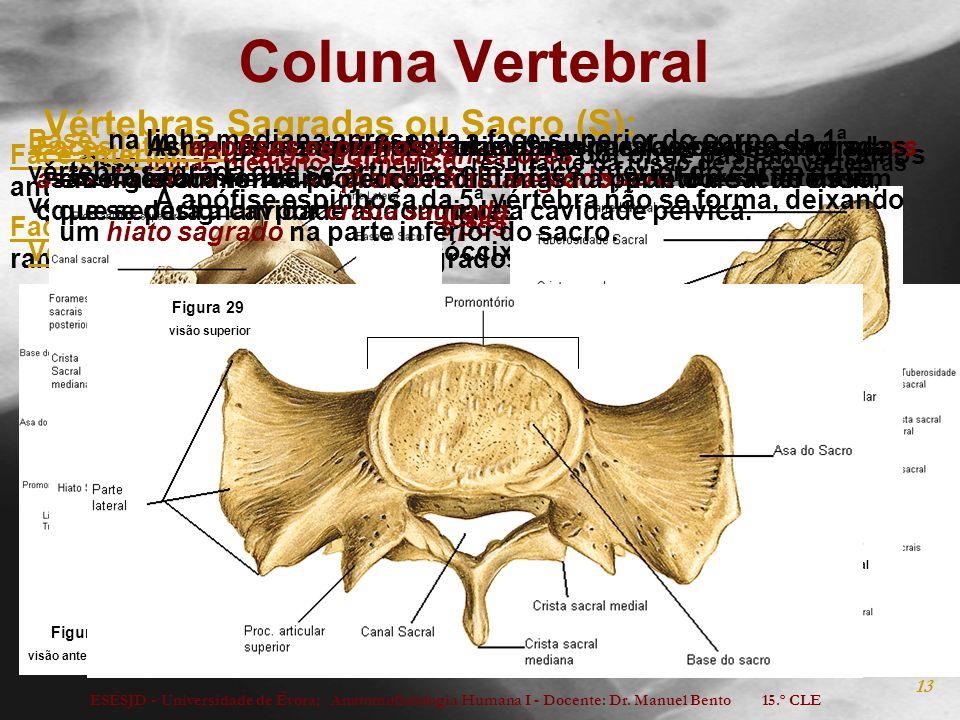 Coluna Vertebral Vértebras Sagradas ou Sacro (S):