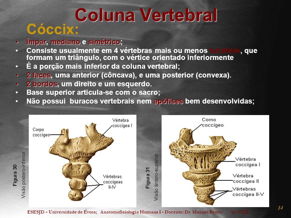 Coluna Vertebral Cóccix: Ímpar, mediano e simétrico;