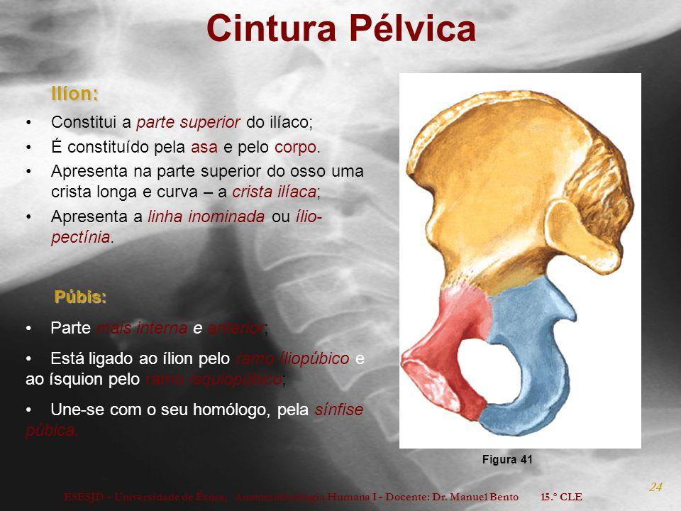 Cintura Pélvica Ilíon: Constitui a parte superior do ilíaco;