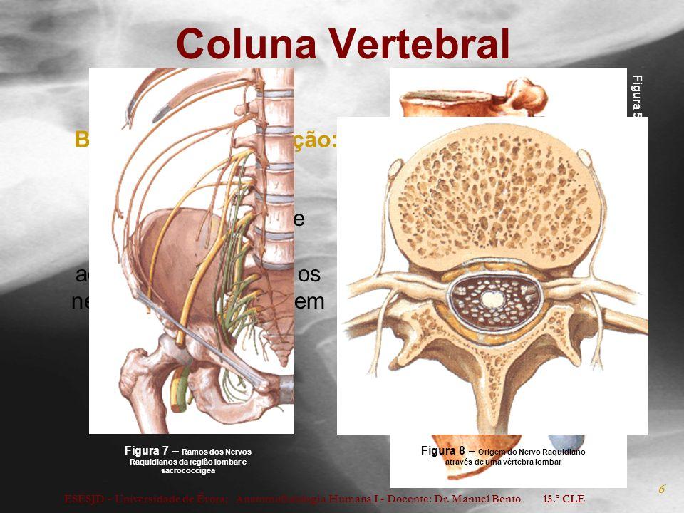 Figura 8 – Origem do Nervo Raquidiano através de uma vértebra lombar