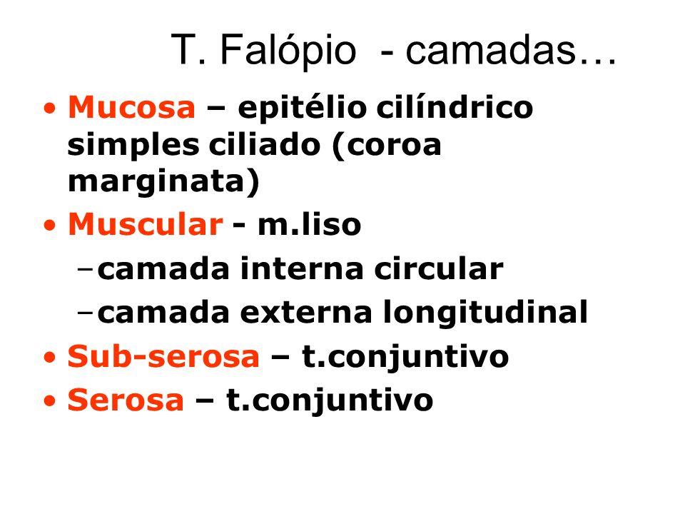 T. Falópio - camadas… Mucosa – epitélio cilíndrico simples ciliado (coroa marginata) Muscular - m.liso.