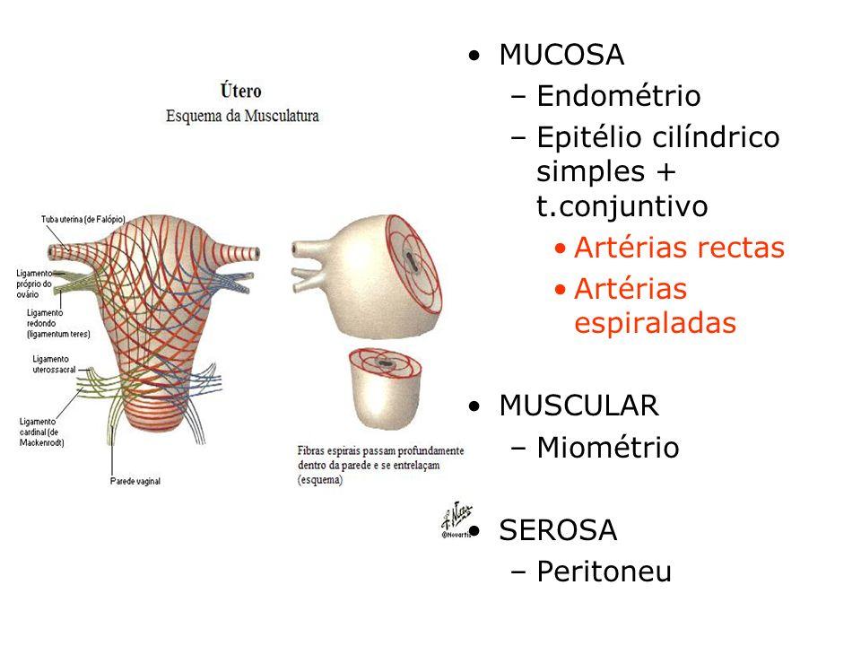MUCOSA Endométrio. Epitélio cilíndrico simples + t.conjuntivo. Artérias rectas. Artérias espiraladas.
