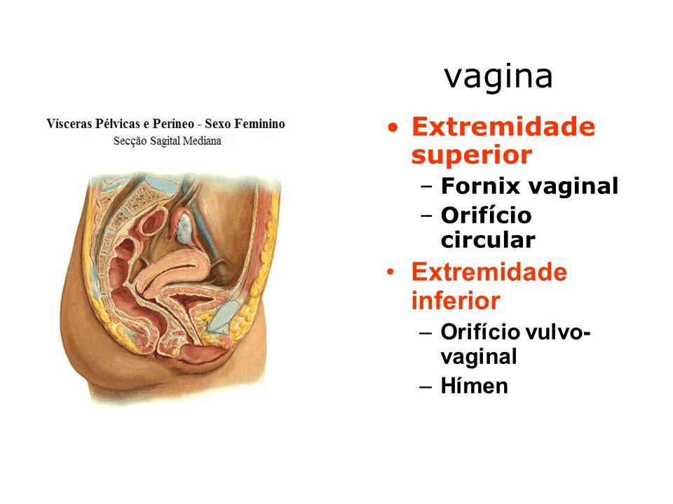 vagina Extremidade superior Extremidade inferior Fornix vaginal